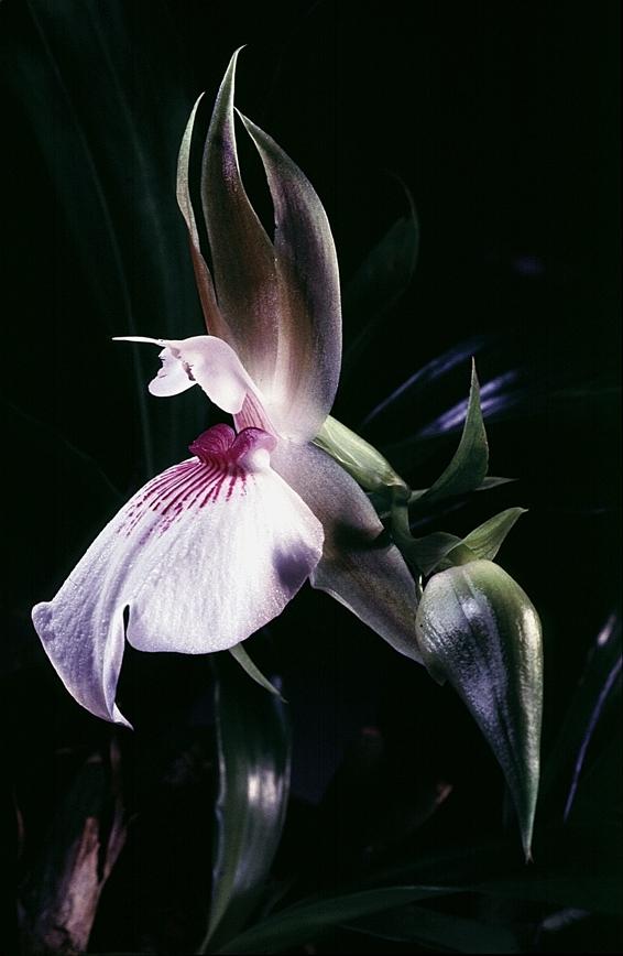 Zygosepalium Labiosum - Photo Yvan MARCOU